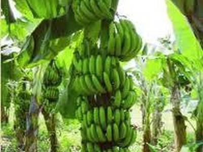 Ensalada fría de Banano verde