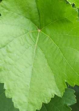 Заготовка виноградных листьев для долмы