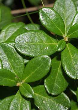 Заготовка листьев брусники